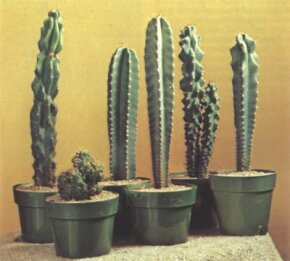 Torch cacti (cereus peruvianus) can grow quite large -- arrange them in an area with plenty of space.