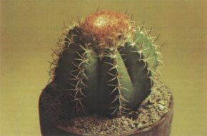 The melocactus is a large ribbed, ball-shaped plant that develops a cap on the top of the plant at maturity.