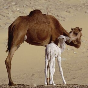 Why do we have humps, mommy? See more pictures of African animals.