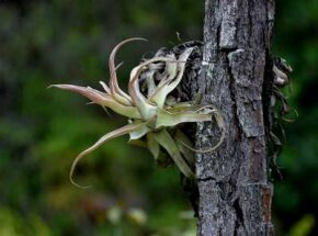Some bromeliads are found on shaded, lower branches of trees.