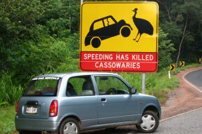 Most avian-auto impacts involve small birds and windshields, but the large Australian cassowary can cause serious damage.