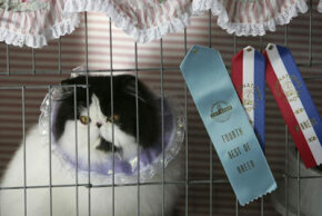 This Persian cat came in fourth best of breed and received two Winner's Ribbons at the CFA International Cat Show.