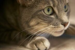 Cats use their long whiskers to hunt, maneuver in the dark and process information.