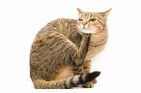 Is your cat scratching more than usual? It might be fleas. See more cat pictures.