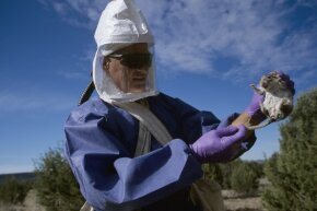 A CDC researcher inspects a deer mouse trapped in a study of the hantavirus in New Mexico. The deer mouse is a carrier of this dangerous virus.