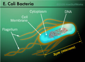 A typical E. coli bacterium is 3 microns long, but its DNA is more than 300 times longer. So, the DNA is tightly coiled and twisted to fit inside.