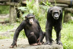 Researchers have found that chimpanzees share 96 percent of their DNA with humans. See more African animal pictures.
