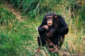 Under the U.S. ChiMP Act, those chimpanzees retired from biomedical research would be cared for at chimpanzee sanctuaries with habitats more akin to their native homes.