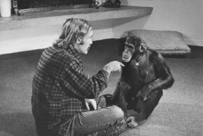 Dr. Roger Fouts tries to teach American Sign Language to a chimp named Lucy in 1972.