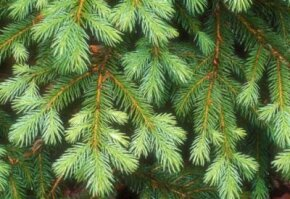 The branches of a Colorado Blue Spruce tree.