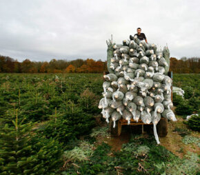 A worker rests after collecting Nordman fir trees wrapped in netting on a trailer on Nov. 8, 2007 near Reading, England.