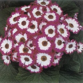 Cineraria has multicolored flowers and is best displayed when in bloom. See more pictures of house plants.