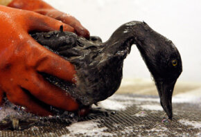 Saving wildlife, like this bird which was polluted from a 2007 spill in San Francisco Bay, is another factor in cleaning oil spills.