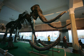 The fossilized remains of a mammoth in Mongolia. From the size of the animal, it's apparent that it took coordination and several people to slaughter a mammoth.