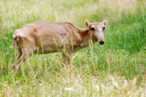 The plight of the saiga antelope shows that a combination of factors can drive an animal to the brink of extinction.