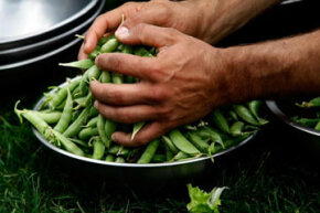 When you participate in community agriculture, your cup runneth over with snap peas. See more pictures of vegetables.