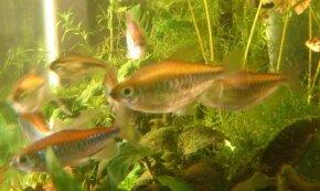 Congo Tetra -- phenacogrammus interruptus See more Aquarium Fish Image Gallery.