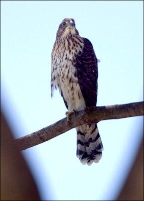 Cooper's Hawk : Wild Birds : Animal Planet