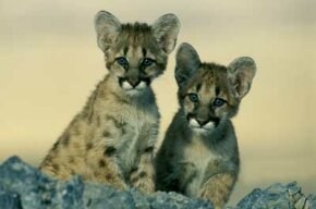 When a female mountain lion screams, it signals nearby males that it's time to mate and make some babies.