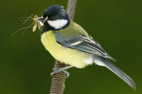 A great tit, a curious bird indeed.