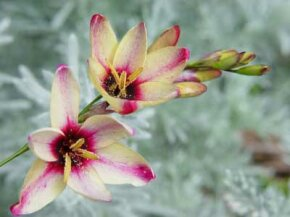 The ixia hails from South Africa and a gift on happy occasions. See more pictures of flowers.