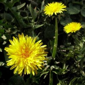 The dandelion plant grow best in well-drained, fertile soil.