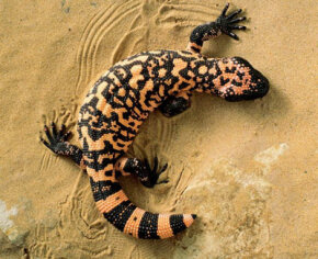 If you saw this Gila Monster coming you way, would you wait around to introduce yourself?