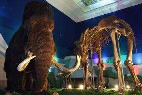 Yes, they're both huge and furry -- but there are some significant differences between mammoths and mastodons.