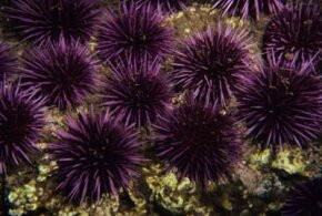 Sea urchins are one of the many echinoderms that thrive today.