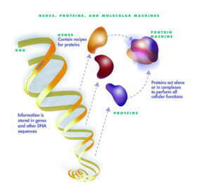 DNA contains the information to make proteins, which carry out all the functions and characteristics of living organisms.