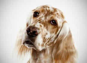 English Setter Bred to cover a lot of area when hunting, the English setter is a lively dog that loves to hunt and run. This is especially true of dogs from field lines. See more in our Dogs image gallery!