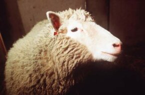 Animal cloning has been the subject of scientific experiments for years, but garnered little attention until the birth of the first cloned mammal in 1996, a sheep named Dolly.