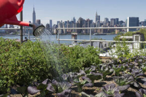 A vegetable garden on a rootop in Brookly, N.Y.  Ingenious ways have been found to grow crops in cities.