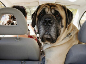 Driving with your mastiff in the front seat beside you probably isn't the safest way to travel. See more pet pictures.