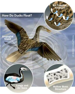 This illustration depicts the parts of a duck's anatomy that enable it to float.