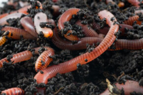Worms are generally classified by the position in the soil they inhabit.