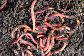 All that black dirt -- that's red worm castings. Nitrogen-rich earthworm castings.