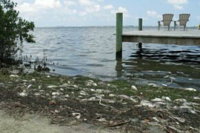 Red tides can cause widespread contamination and death among fish and other sea life.