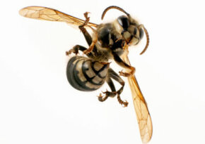 You may see a wasp, but entomophagists see pine nuts. See more pictures of insects.