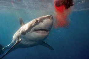 How does sensitivity to electrical currents help sharks feed? See more pictures of sharks.