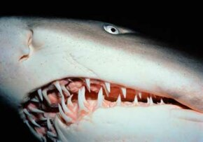 The dots around this sand tiger shark's mouth are the ampullae de Lorenzini that facilitate electroreception.