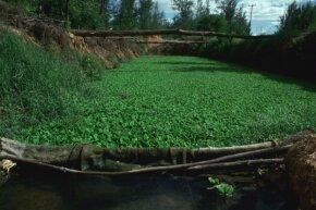 Biofiltration pond near Mombasa, Kenya. Nile cabbage in the pond removes impurities from the water so it can be used as a fish farm.