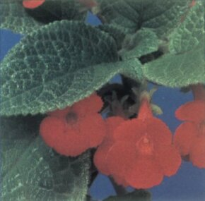 Episcia is here seen with red flowers but also comes in pink, yellow, and lavender. See more pictures of house plants.