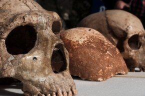 A Neanderthal skull (left) is positioned next to the skull of a modern Homo sapiens (right). In between sits the Manot Cave skull, which scientists say proves Homo sapiens migrated out of Africa 65,000 years ago.