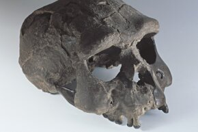 Upright walker Homo erectus had a relatively large brain.