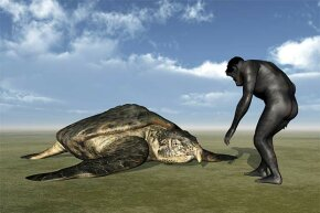 This drawing shows an artist's impression of the Archelon turtle; the Stupendemys is thought to be even bigger.