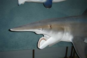 The Helicoprion, with its signature circular saw, was reconstructed for a traveling exhibition in 2006.