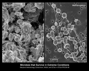 Halophiles, which thrive in super salty environments, and methanogens, which live in places like animal intestines, are both tough unicellular organisms called extremophiles.