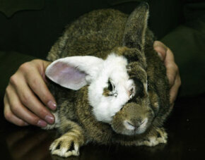 Chinese surgeons practiced face transplants on rabbits before moving on to humans.