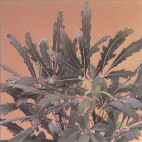 False aralia's leaflets are thin and have toothed edges. See more pictures of house plants.